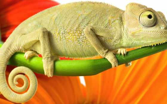 chameleon, branch, зелёный, картинка, animals,