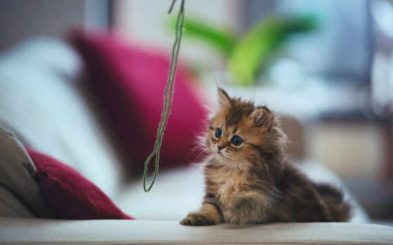 кот, котенок, torode