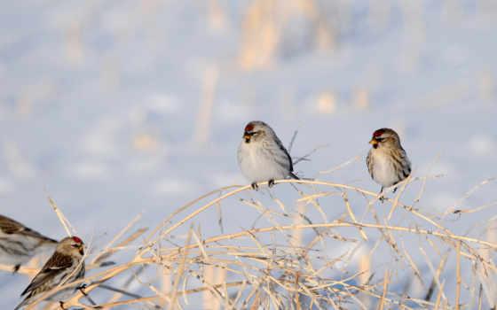 winter, ветки, снег, птицы, сухие,