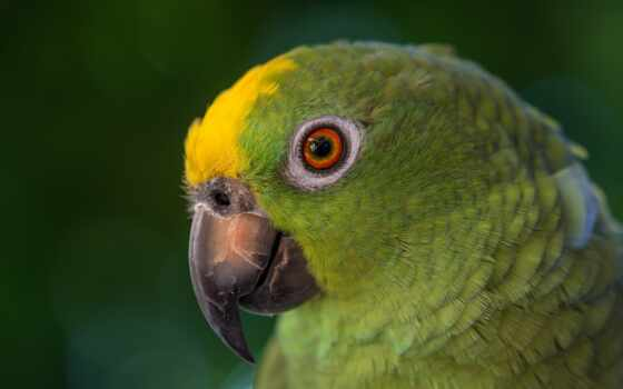 nurus, buring, птица, macaw, попугай