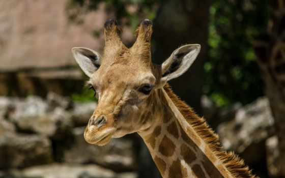 животные, категории, телефон, морда, жираф, this,