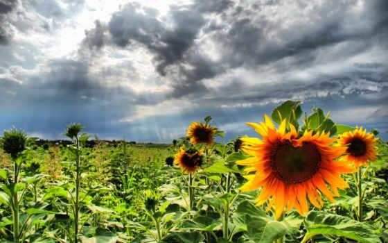 подсолнух, sunflowers
