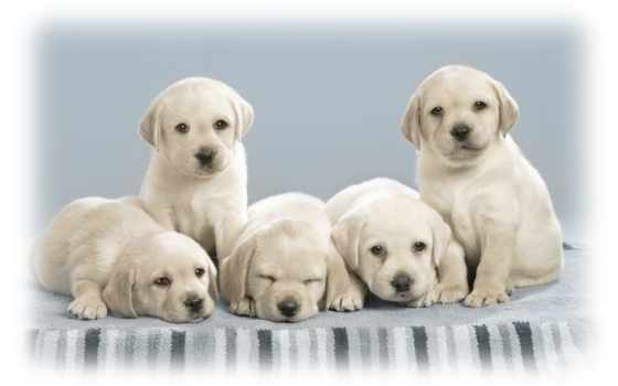 welpen, щенок, desktop, zhivotnye, hund, щенки, cute,