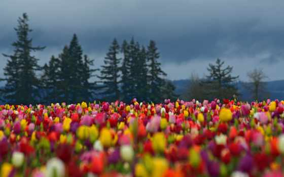 lente, achtergronden, facebook, bureaublad, поле, met, tulpen,