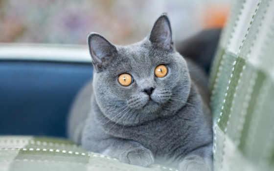 кот, british, котенок, порода, глаза, морда