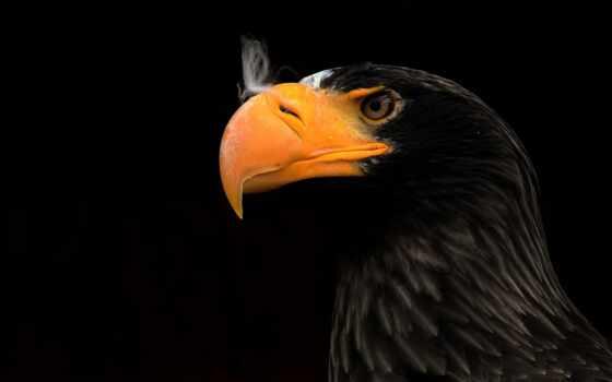 орлан, black, глаз, использование, term, птица, клюв, hintergrundbild, vorschau, небо