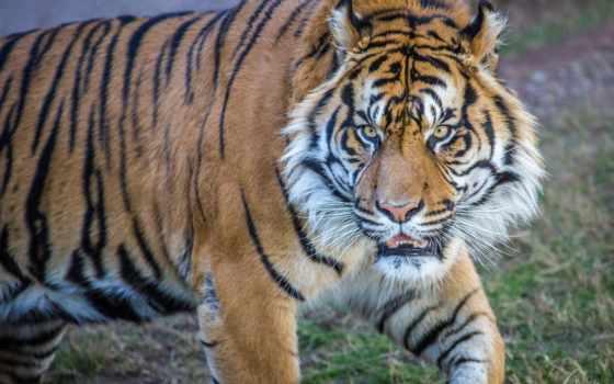 животные, конкурс, тигры