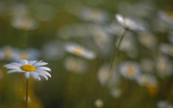 flowers, pictures, daisies, field, цветы, photos,