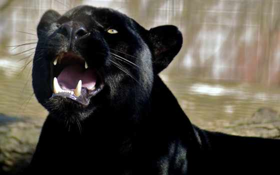 panther, детали