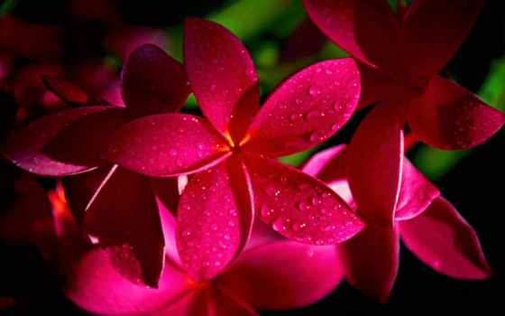 flores, pantalla, plumeria, rojo, pinterest, para, fondos, flor, primavera, google,