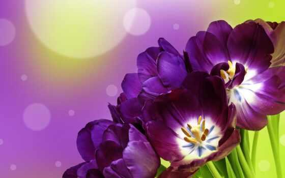 тюльпаны, фиолетовые, fone, схемы, размытом, цветы, rub,