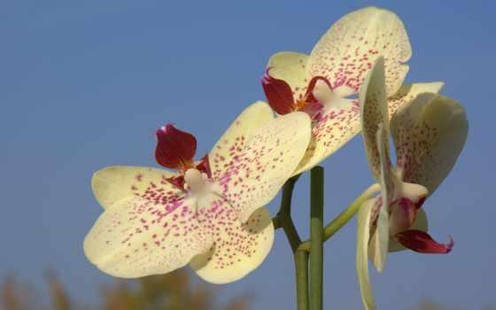 fondos, pantalla, орхидея, orquídeas, orchids, gratis, orquídea, фото, white, fotos,