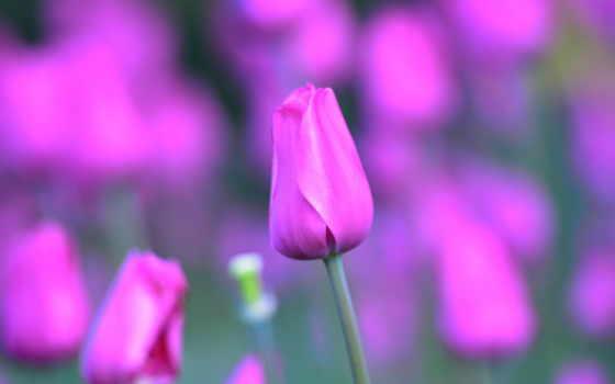 тюльпан, часть, размытом, fone, красивые, макро, качественные, страница, collector, разных,