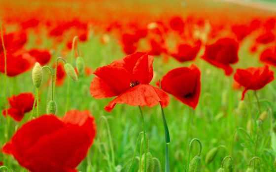 поле, cvety, природа, лепестки, маки, весна, рождения, маками, фотообои, красными,