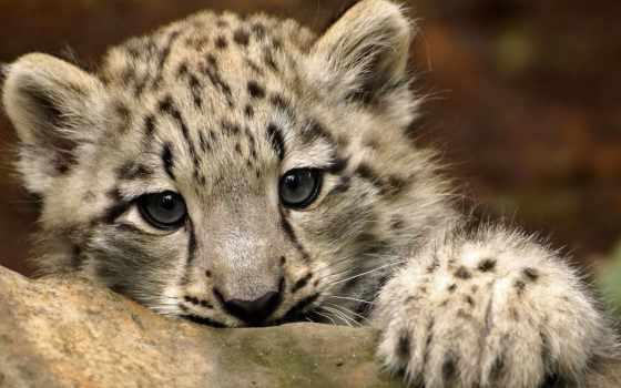 снег, леопард, ирбис,