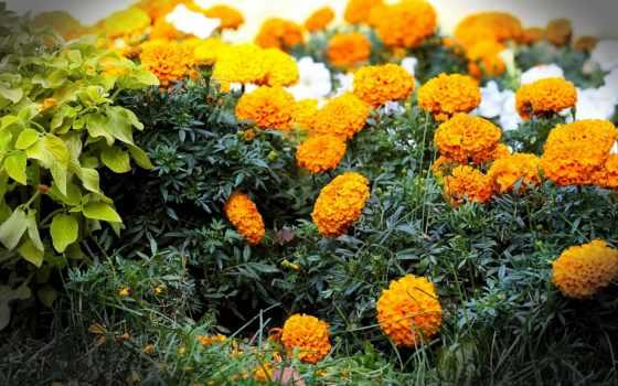 cvety, бесплатные, бархатцы, tagetes, цветов, фон, flowers,