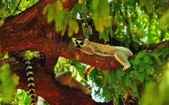 lemur, спит, дерево