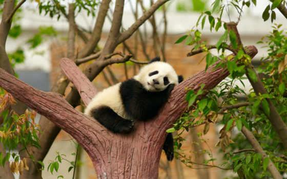 панда, маленькая, спит, сладко, развилке, дерева, размеры, цена,