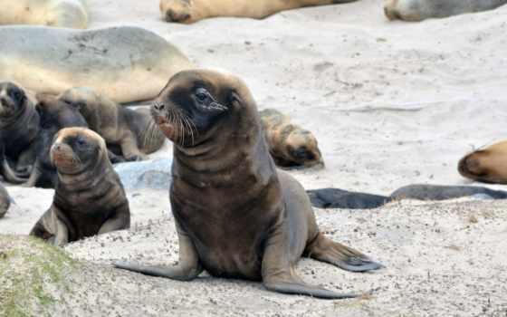 тюлень, морские, котики