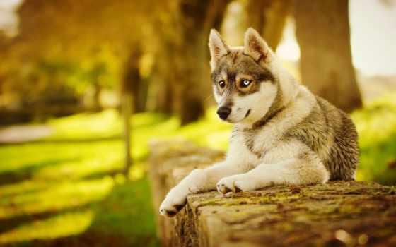 хаски, собака, осень, морда, лапы, youtube, собаки, фоны,