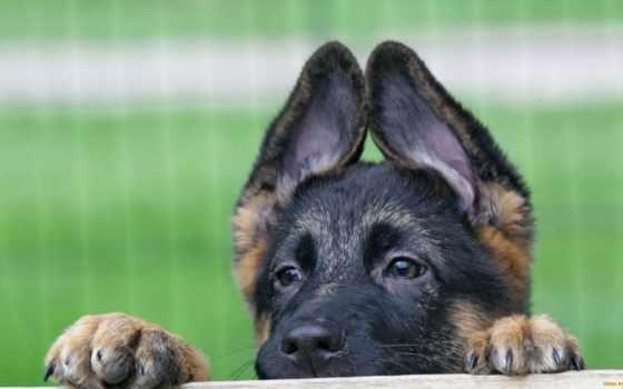 собаки, овчарка, овчарки, немецкая, немецкой, щенки, чёрно, собака, black, собак,