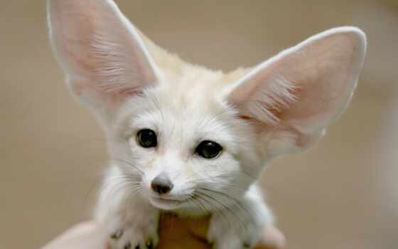 animal, фокс, sweetheart, fennec, cool, lol, идея, memax, ухмылка, злой, cry
