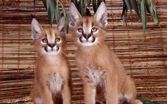 степная, рысь, каракал, кот, которая, широко, дикая, famous, африке, центральной, азии, всей, распространена,