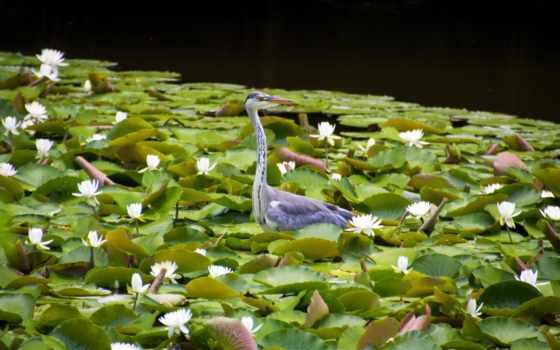 цапля, птица, кувшинки, лилии, листва, водяные, серая, birds,