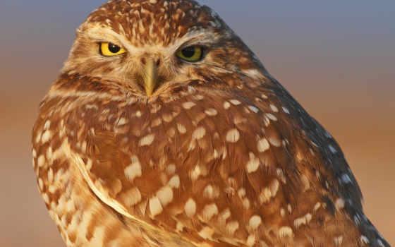 птица, сова, сыч,
