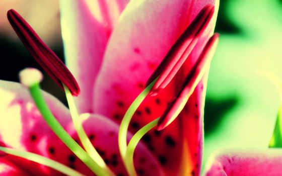 цветы, lily, лепестки, макро, капли, зелёный,