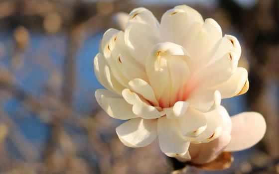 flowers, desktop, роза, cvety,