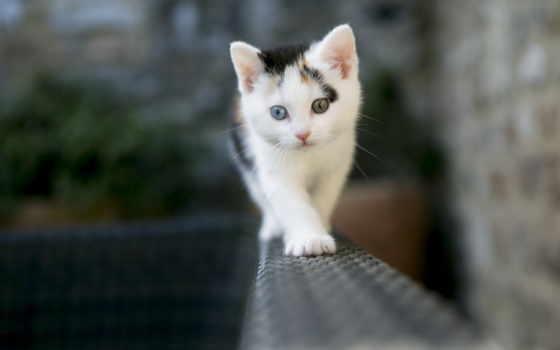котенок, глазами, разными, глаза, white, смелый, животных, кот,