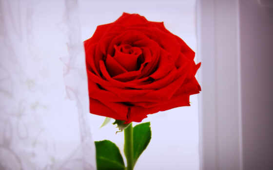 розы, цветы, red
