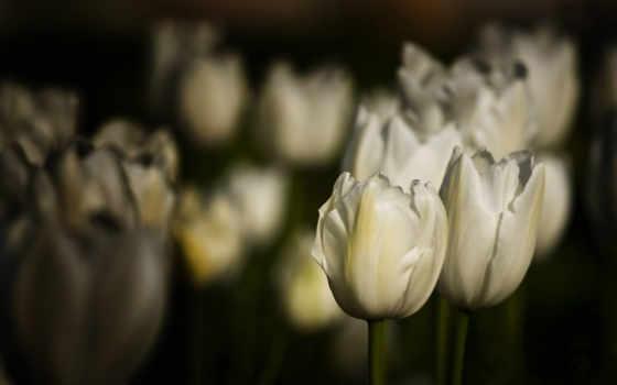 тюльпаны, белые, cvety
