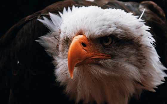 клюв, птица, орлан Фон № 98288 разрешение 1920x1200
