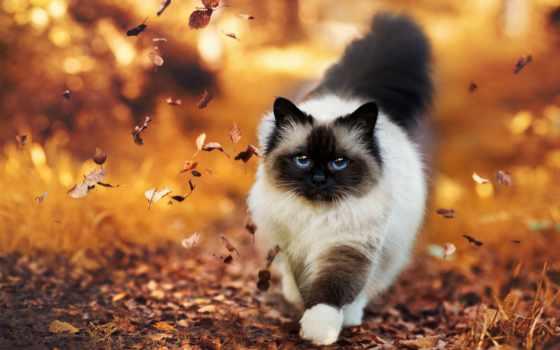 кошки, осень, кот, animaux, листва, пушистая, ecran, chat, id,
