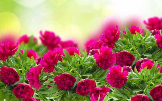 пионы, cvety, страница, установить, possible, листва,