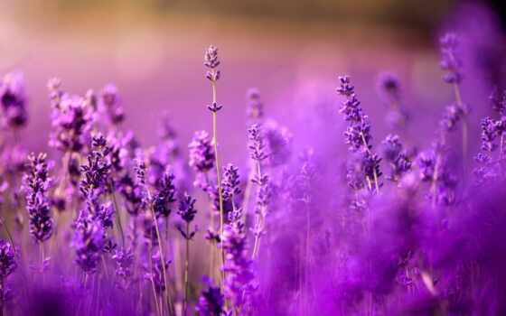lavender, cvety, purple, side