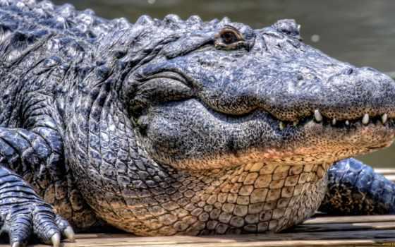 крокодил, животные, просмотреть
