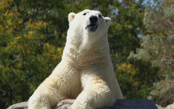 медведь, white, polar Фон № 81412 разрешение 1920x1200