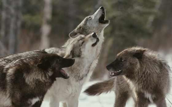волки, разных, разрешениях, волк, новой, луну,