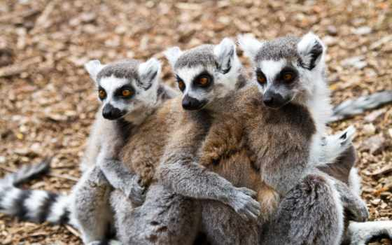 lemur, свет, трио, очень, морды, conviction, лемуры, everything, fone, белом,