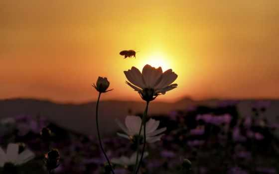закат, цветы, над, пчелка, she,
