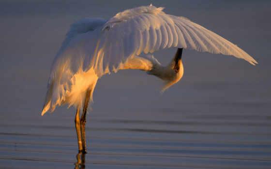 животными, backwards, картинку, цапля, чтобы, over, bending, picture, просмотреть, birds, белая, snowy, изображение, egret, размере, её, реальном,
