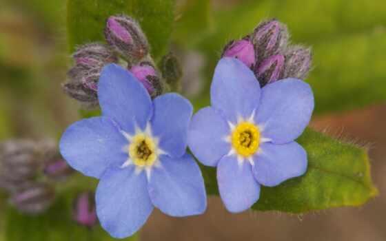 цветы, подборка, незабудки