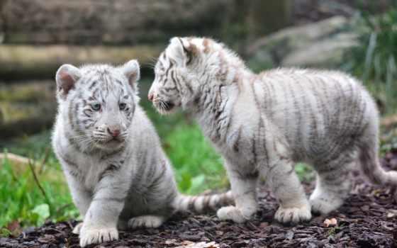 тигр, tigris, тигры, нравится, panthera, бенгальский, детёныш, кошки, тигра, подвид, wolves,
