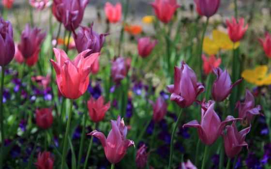 весна, тюльпаны, цветы