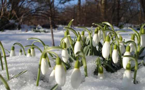 подснежники, весна, martha, цветы, весны,