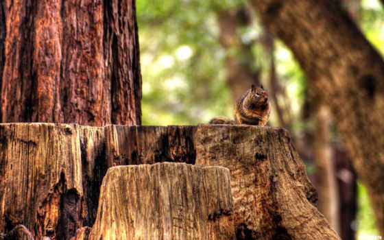 лес, осень, stump, природа, бурундук, sitting, striped, woods,