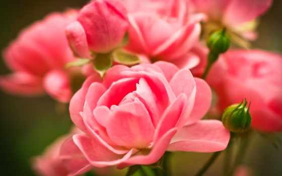 розы, cvety, desktop